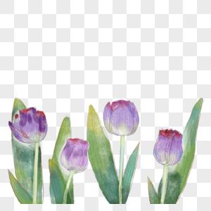 紫色的郁金香图片