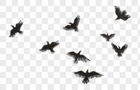 黑色的鸟图片