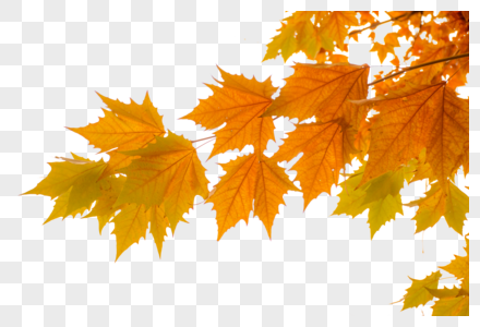 秋天枫叶图片