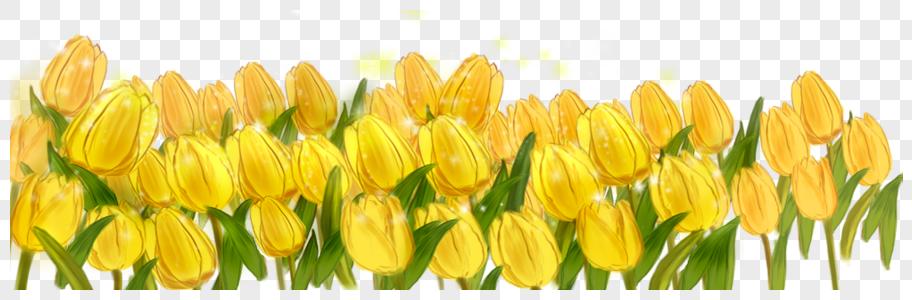 黄色郁金香图片