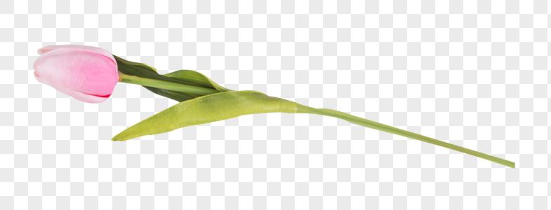 郁金香·图片