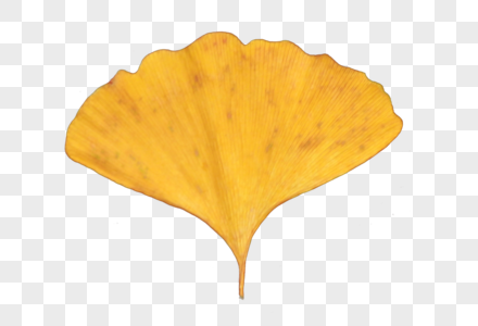 一片银杏叶图片