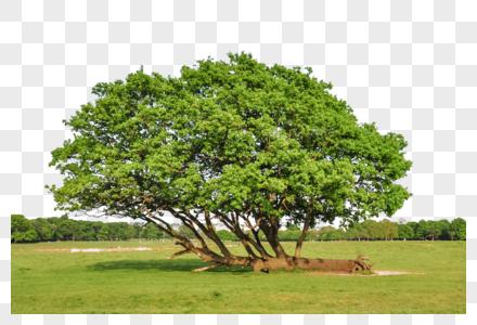 桑葚树木图片