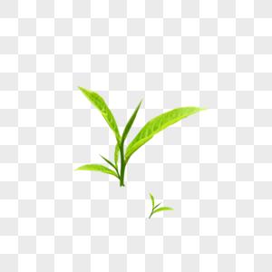 茶叶嫩芽图片