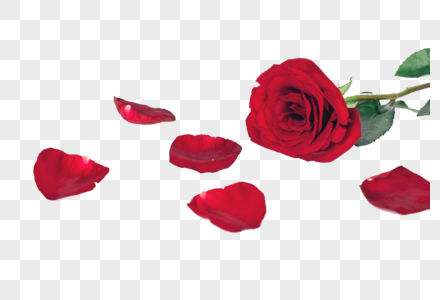 一支玫瑰花图片