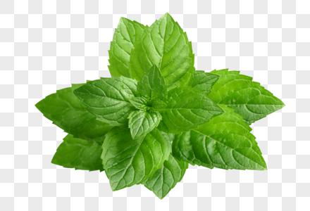 创意绿色新鲜的薄荷树叶图片