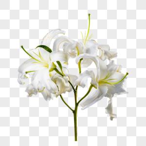 白色百合花图片
