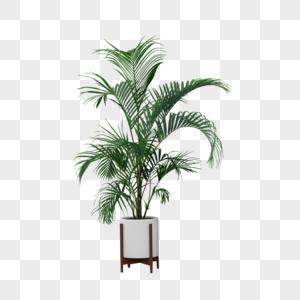 凤尾竹盆栽图片