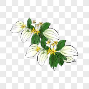玉叶金花图片