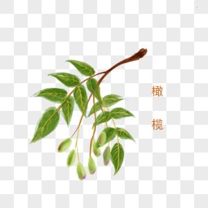 手绘水彩中药材橄榄图片