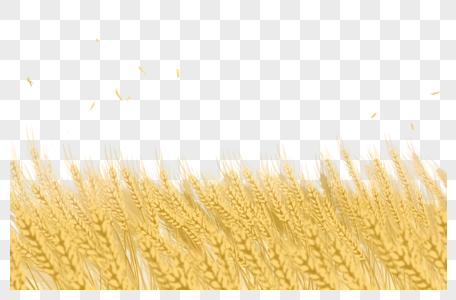 金黄的麦穗图片