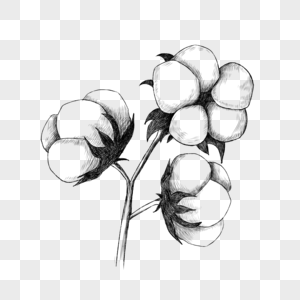棉花素描风格图片