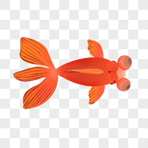 大眼金鱼图片