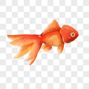 水彩手绘红色金鱼图片