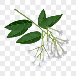 手绘夏季植物玉簪花图片