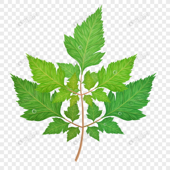 绿色的榆树叶子图片