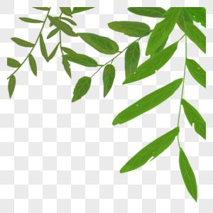 榆树叶图片