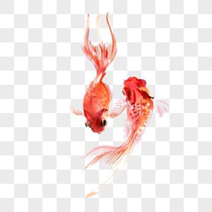 两只红色小金鱼图片