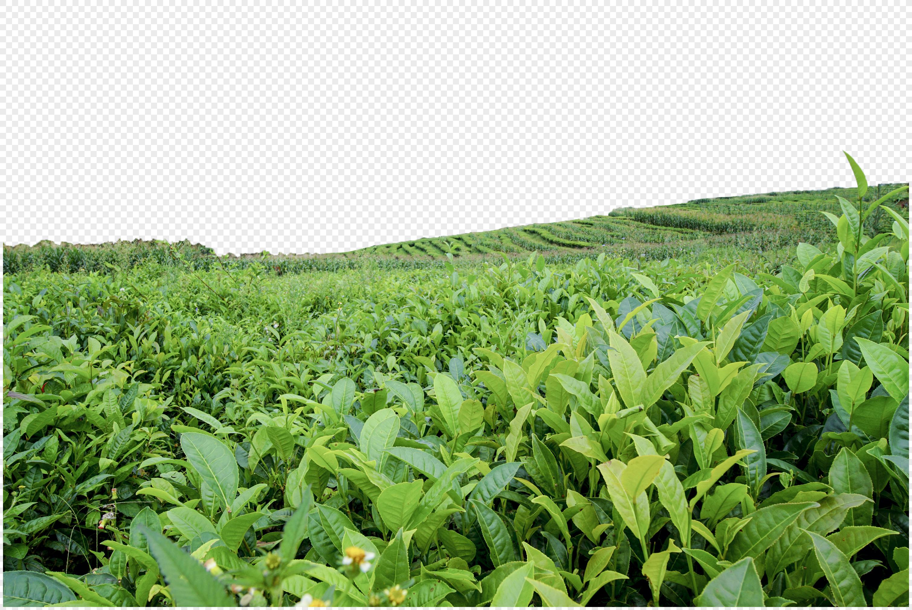 福鼎白茶有限公司