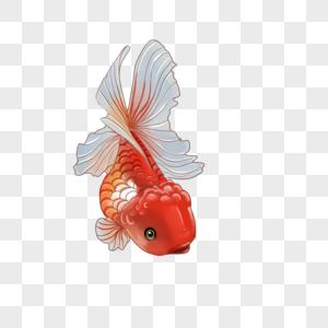 红色白尾金鱼图片