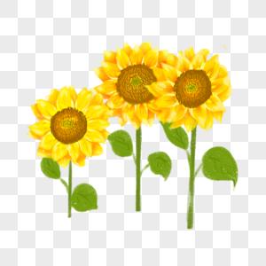 三株金色向日葵图片