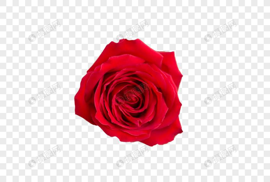 一朵红色玫瑰放在年轻女性的双腿上图片