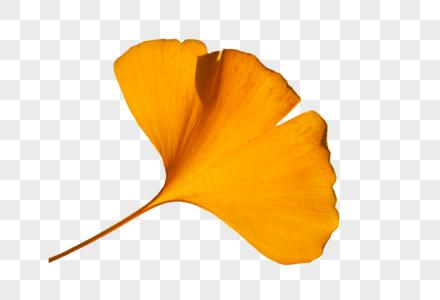 秋天金黄色银杏树叶特写图片