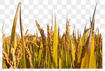 金黄色水稻图片