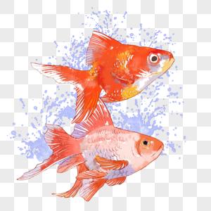 金鱼水彩手绘图片