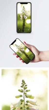 白色毛地黄手机壁纸图片