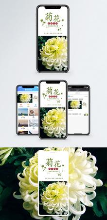 菊花手机海报配图图片