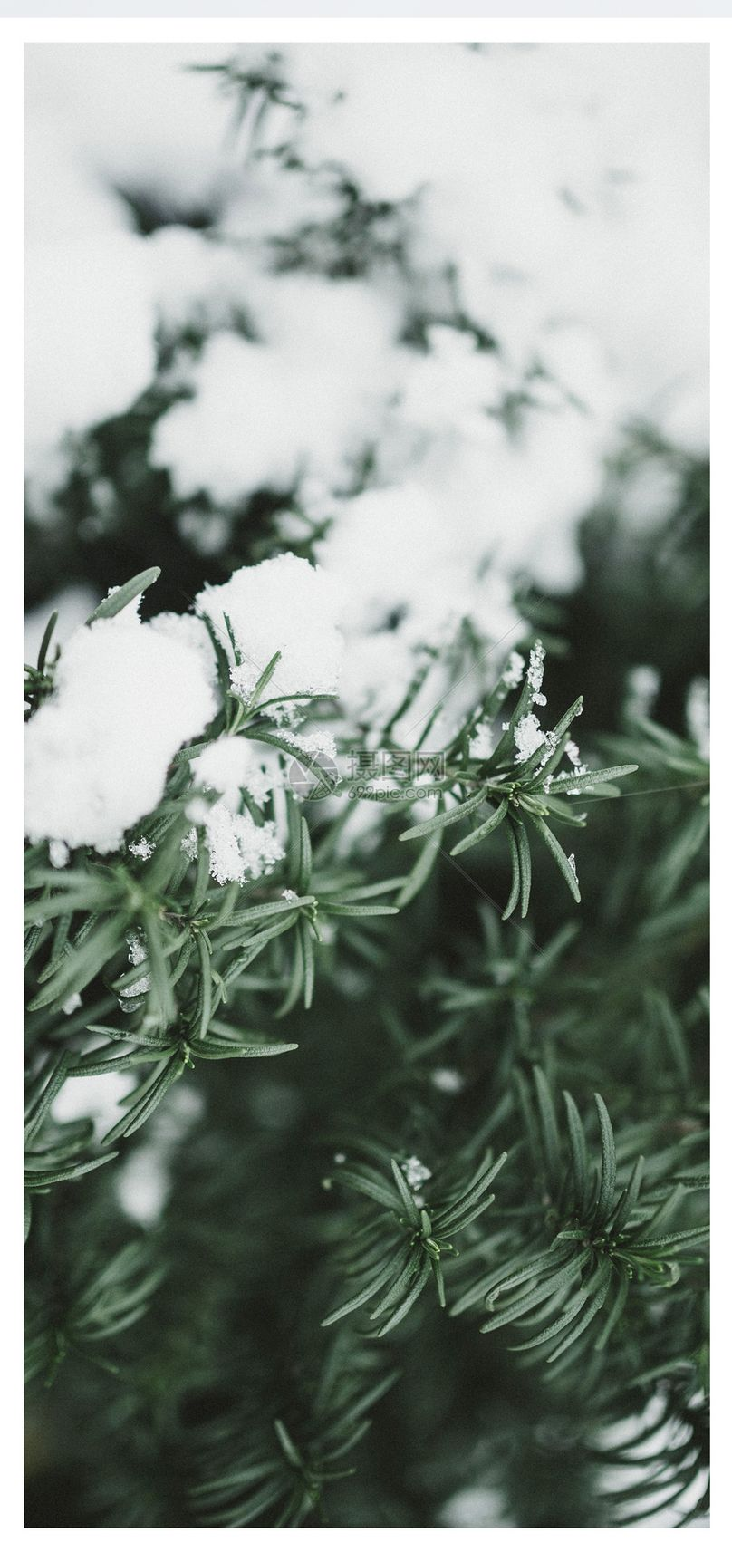 松树积雪手机壁纸图片