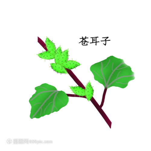 苍耳子药材龙吐珠花盆栽图片