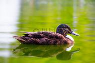 游动在湖面上的鸭子图片