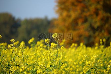 秋天的油菜花图片
