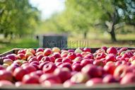 一堆新鲜大红苹果图片