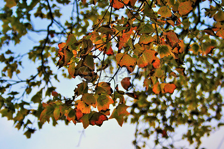 秋天树上的叶子图片