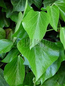 绿色的常春藤叶子图片