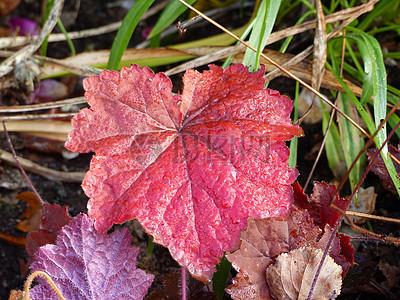 红色的植物叶子图片