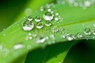 绿叶上的露珠图片