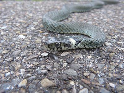 爬行动物毒蛇