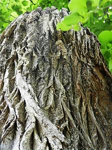 大树树皮特写图片