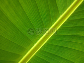绿色的芭蕉叶图片
