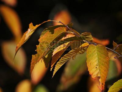 黄色叶子特写图片
