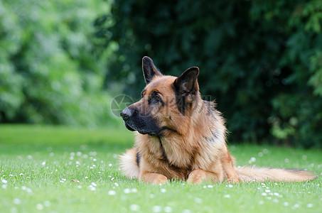 思考中的德国牧羊犬高清图片