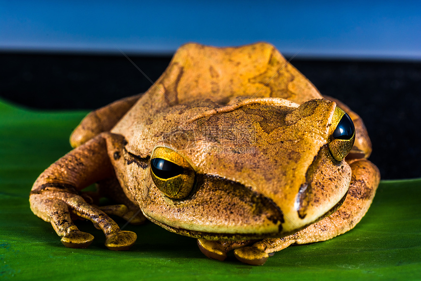 青蛙被称为两栖动物的原因是( ) a.