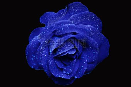 黑背景中的蓝色玫瑰图片