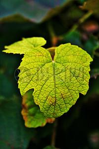 清晰的树叶脉络图片