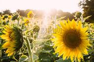 阳光中的向日葵图片