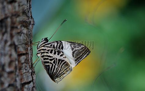 白色蝴蝶特写图片